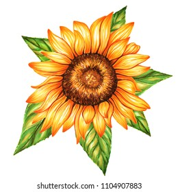 Sunflower isolated on white background. Watercolor and marker art. Botanical Illustration. Perfect for elemen for design, print, greeting card, wedding.