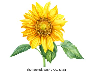 sunflower on an isolated background, botanical illustration, watercolor floral design