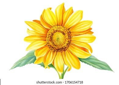 sunflower  on an isolated white background, hand drawing, botanical painting, watercolor flower