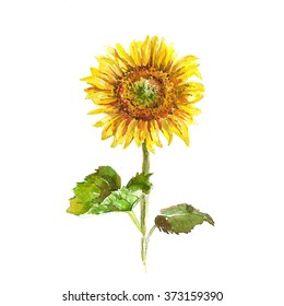 Sunflower. Watercolor hand drawn illustration..
