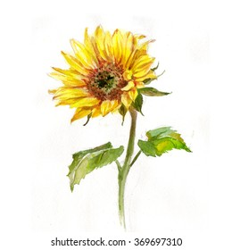 Sunflower, watercolor painting, white background