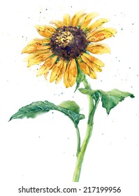 sunflower, watercolor, white background