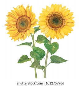Sunflowers with watercolor painting.Hand drawn on white background.Clipping path included. Illustration for various tasks such as greeting cards,love card. birthday cards, or different print jobs.