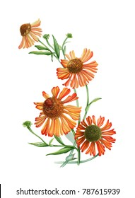 Sunny flowers. Watercolor flowers. Orange flowers. botanical illustration. Floral illustration. For wedding, invitations, cards.