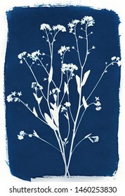 Sun-printing or cyanotype process. Skeleton flowers cyanotype