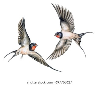 Swallow. Birds in flight isolated on white background. Watercolor. Illustration. Template. Two Swallows realistic