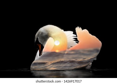 Swan, pond, double exposure on a homogeneous background