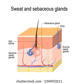 Sweat glands (apocrine, eccrine) and sebaceous gland. Cross section of the Human skin with hair follicle, blood vessels and glands. diagram for educational, medical, biological, and scientific use