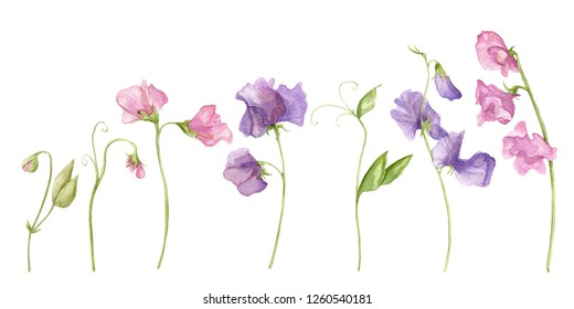 Sweet pea blossoms on a white background. Isolated sweet pea blossoms set. Floral pattern elements and blossoms. Tender cute flowers.