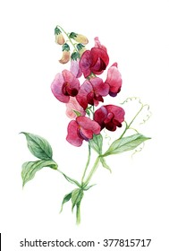Sweet pea. Watercolor illustration.