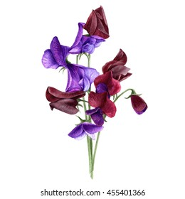 Sweet pea-Lathyrus odoratus botanical illustration. Watercolor painting. Isolated on white.