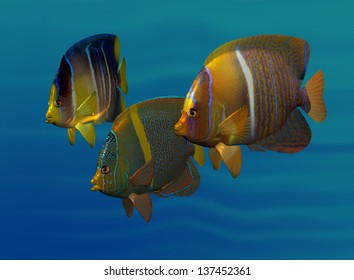 Swimming Angelfish Three varied and colorful angelfish swimming side by side in three-quarter view.