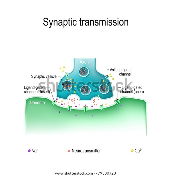 Synaptic Transmission Structure Typical Chemical Synapse Stock