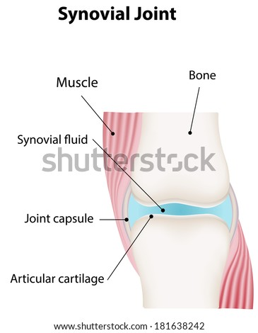 Royalty Free Stock Illustration Of Synovial Joint Diagram Stock