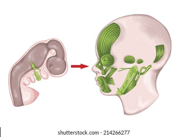 The system of pharyngeal or branchial arches afte Sadler and Drews, second hyoid embryonic pharyngeal arches with the associated nerves, muscles, skeletal derivatives, embryonic development