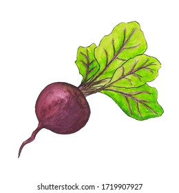 Table watercolor beet with green leaves isolated on white background