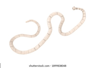 Taenia Solium Tapeworm Closeup Microscopic View on a white background. 3d Rendering