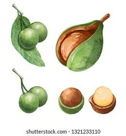 Tamanu. Watercolor botanical illustration. Essential oil.