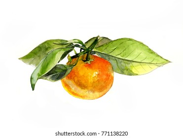 Tangerine with leaves on white background, watercolor sketch
