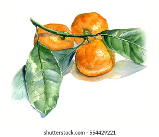 Tangerines with leaves. Watercolor sketch. Isolate on white background