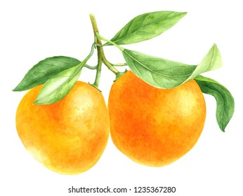 tangerines, two orange manadrines on a branch with green leaves drawing in watercolor at white background, hand drawn botanical illustration