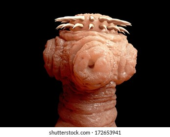 Tapeworm head