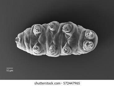 Tardigrade (Water Bear). 3d rendered illustration.