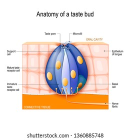 taste bud  mature and immature taste receptor, support and basal cells,  epithelium of