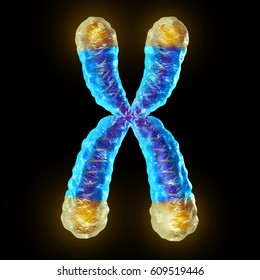 Telomere length medical concept and telomeres located on the end caps of a chromosome resulting in aging by damaging DNA or protection resulting in living longer or longevity as a 3D illustration.