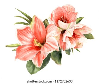 Tender pink amaryllis. Hand drawn watercolor