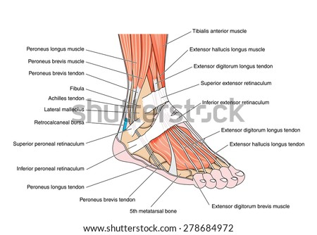 Royalty Free Stock Illustration of Tendons Muscles Foot Ankle ...