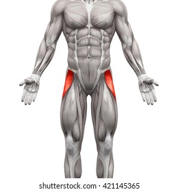 Tensor Fasciae Latae - Anatomy Muscles isolated on white - 3D illustration