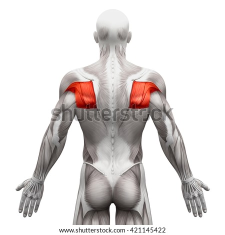 Teres Major Minor Infraspinatus Supraspinatus Anatomy Stock ...