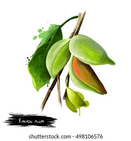 Terminalia ferdinandiana, gubinge, billygoat plum, Kakadu plum or murung. Food illustration, fruit exotica. For catalogs, nutritional information and institutional material. Digital art illustration