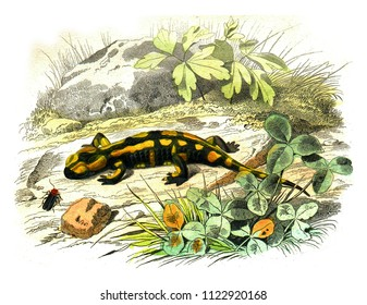 The terrestrial salamander, vintage engraved illustration. Natural History from Lacepede.