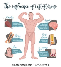 Testosterone influence infographic image on a white background. Male sex hormone and it s role in human body. Scientific, educational and popular-scientific concept.