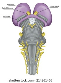 thalamus, optic chiasma and tract, brainstem, brain stem, ventral view, posterior part of the brain, adjoining and structurally continuous with the spinal cord, parts of the diencephalon