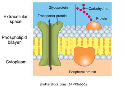 There are different types of proteins which are bound or embedded into cell membrane, these include transporters and glycoproteins.