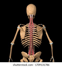 This 3d illustration shows the full back view of the transversospinalis  muscles group