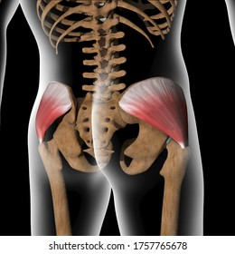 This 3d illustration shows the gluteus medius muscles on xray body