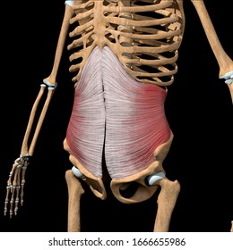 This 3d illustration shows the transverse abdominal  muscles on skeleton