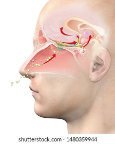 This medically 3D illustration showing the function of the olfactory sense