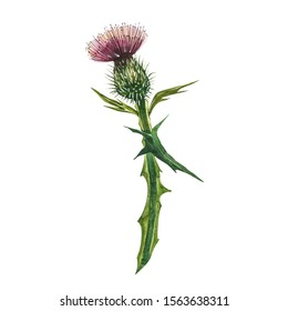 Thistle flower. Watercolor botanical illustration. Good for cosmetics, medicine, treating, aromatherapy, nursing, package design, field bouquet. Hand drawn wild hay flowers.