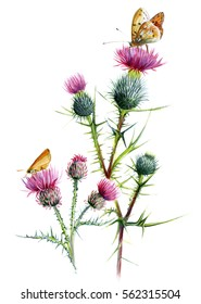 Thistle two species, with butterflies. Botanical watercolor sketch on a white background.
