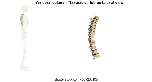 Thoracic Spine Images Stock Photos Amp Vectors Shutterstock