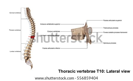 Thoracic Vertebrae T 10 Lateral View 3 D Stock Illustration ...