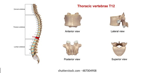 Thoracic Vertebrae Images Stock Photos Vectors Shutterstock