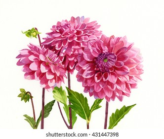 Three Bright Pink Dahlias.  Watercolor painting, illustration, of three  flowers white background, hand painted