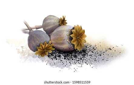 Three dry poppy capsules (heads) with seeds lying on a ground hand drawn in watercolor isolated on a white background. Watercolor illustration.