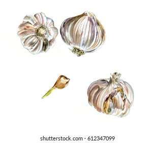 Three heads of garlic and slice, watercolor sketch isolated